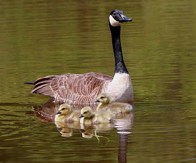 Mother Goose With Baby Geese Print by Edward Kocienski