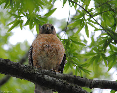 Red Photograph - Mother Red Shouldered Hawk by Jai Johnson