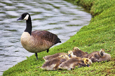 Mother With Goslings Print by Jason Politte