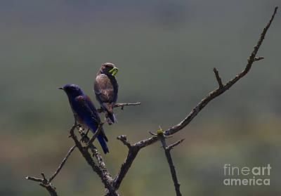 Mountain Bluebird Pair Original by Mike  Dawson