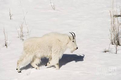 Mountain Goat Stroll Print by Sandra Bronstein