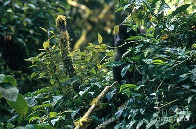 Mountain Gorilla In Uganda Print by Art Wolfe