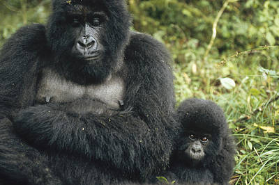 Mountain Gorilla Mother And Baby Print by Konrad Wothe