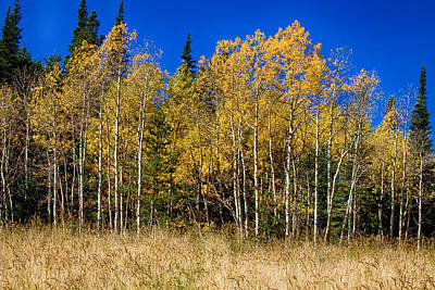 James Insogna Photograph - Mountain Grasses Autumn Aspens In Deep Blue Sky by James BO  Insogna