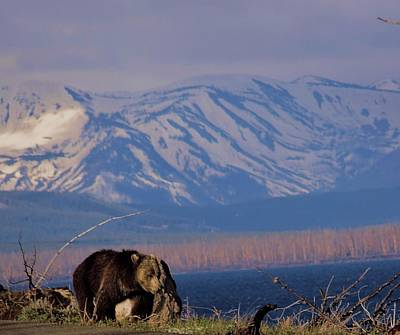 Mountain Grizzly Print by Dan Sproul