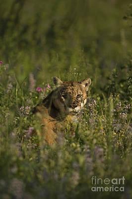 Mountain Lion-animals-5 Print by Wildlife Fine Art