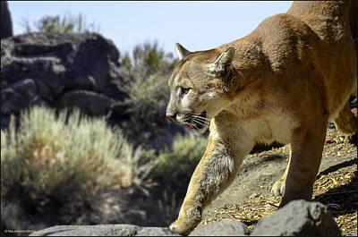 Lion Photograph - Mountain Lion On The Prowl by LeeAnn McLaneGoetz McLaneGoetzStudioLLCcom