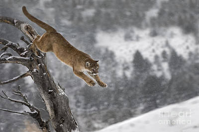 Mountain Lion - Silent Escape Print by Wildlife Fine Art