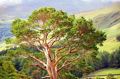 Mountain Pine Tree In Wicklow. Ireland Print by Jenny Rainbow