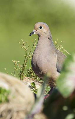 David E Lester Photograph - Mourning Dove 2 by David Lester