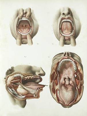Mouth Anatomy Print by Science Photo Library