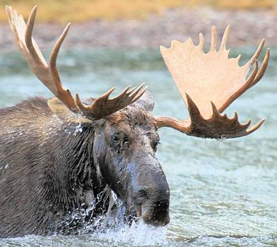 Moose In Water Photograph - Mouthful Of Water by Adam Jewell
