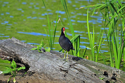 Moorhen Photograph - Mouthy Moorhen by Al Powell Photography USA