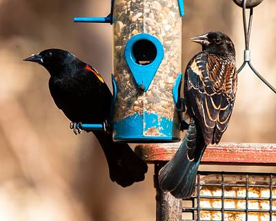 Bird And Worm Photograph - Mr. And Mrs. Red Winged Blackbird by Robert L Jackson