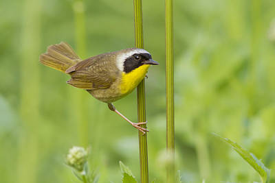 Warbler Photograph - Mr Yellowthroat by Mircea Costina Photography