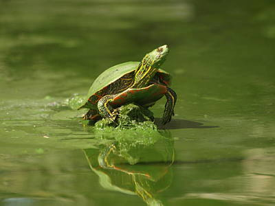 Mud Turtle Original by James Peterson