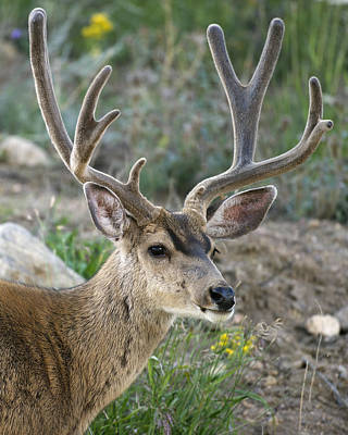 Bucks In Velvet Photograph - Mule Deer Buck In Velvet by Gary Langley