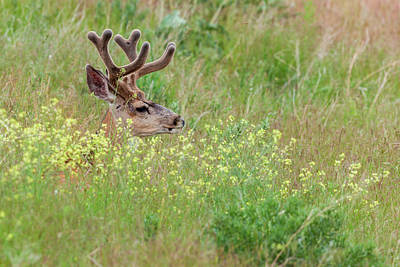 Bison Photograph - Mule Deer (odocoileus Hemionus by James White