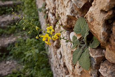 Mullein (verbascum Arcturus) Print by Science Photo Library