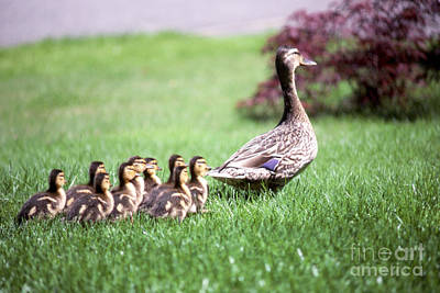 Mumma Duck And Kids Print by King Wu