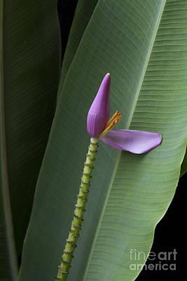 Musa Ornata - Pink Ornamental Banana Flower - Kepaniwai Maui Hawaii  Print by Sharon Mau