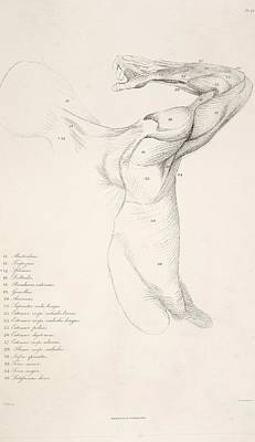Of Artist Photograph - Muscles In The Arm And Back by British Library