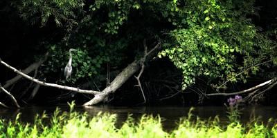 Muskegon River Heron Print by Michelle Calkins