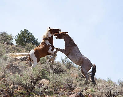 Mustang Fight Print by Lula Adams