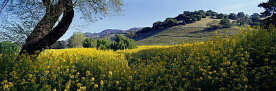 Pasture Scenes Photograph - Mustard Flowers In A Field, Napa by Panoramic Images