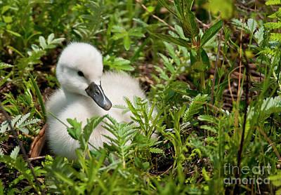 Swan Photograph - Mute Swan Cygnet by Michael Cummings