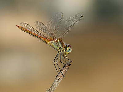 My Best Dragonfly Print by Janina  Suuronen