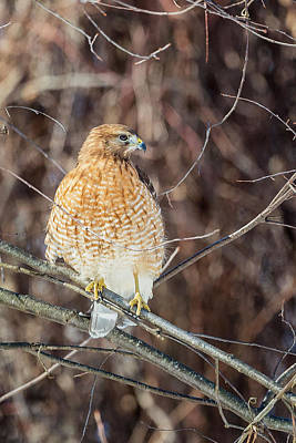 Hawk Photograph - My Good Side by Bill Wakeley