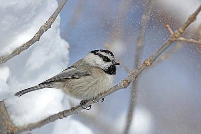 Flurries Photograph - My Little Chickadee by Sandy Sisti