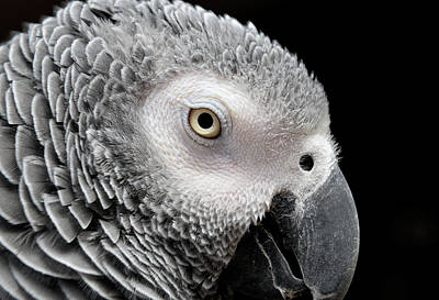 Parrot Photograph - My Name Is Bogie by Betty LaRue