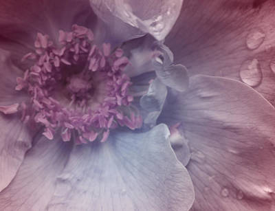 Flower Photograph - My Soul In A Rose by  The Art Of Marilyn Ridoutt-Greene