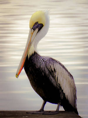 Pelican Photograph - My Visitor by Karen Wiles