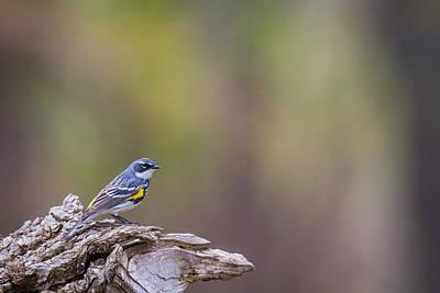 Warbler Photograph - Myrtle Warbler by Chris Hurst