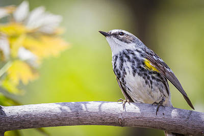 Myrtle Warbler In The Sun Print by Chris Hurst
