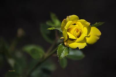 Mystic Yellow Rose Print by Christina Rollo