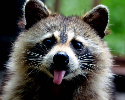 Raccoon Mixed Media - Na Na Na Na  by Davids Digits