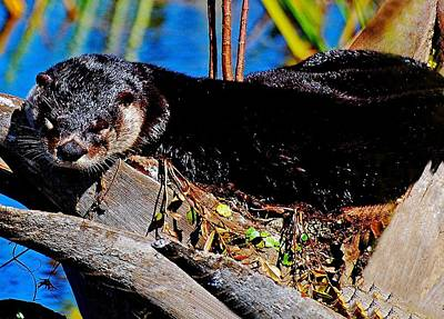 Otter Mixed Media - Nap Time  by Davids Digits