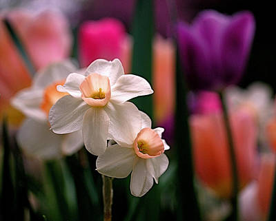Apricot Photograph - Narcissus And Tulips by Rona Black