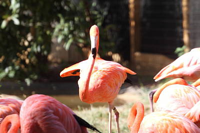 Flamingoes Photograph - National Zoo - Flamingo - 01133 by DC Photographer