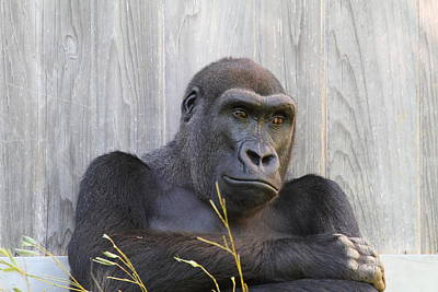 Zoo Photograph - National Zoo - Gorilla - 011324 by DC Photographer