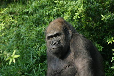 National Zoo - Gorilla - 121226 Print by DC Photographer