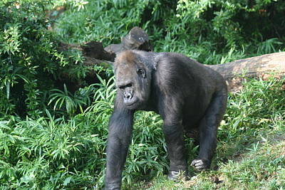 National Zoo - Gorilla - 121229 Print by DC Photographer