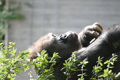 National Zoo - Gorilla - 121248 Print by DC Photographer