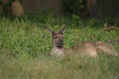 National Zoo - Kangaroo - 12125 Print by DC Photographer