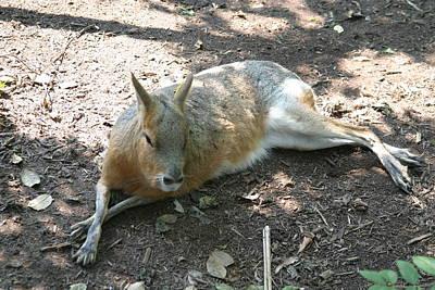 Kangaroo Photograph - National Zoo - Kangaroo - 12126 by DC Photographer