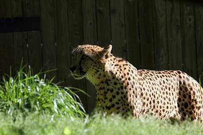 National Zoo - Leopard - 011319 Print by DC Photographer